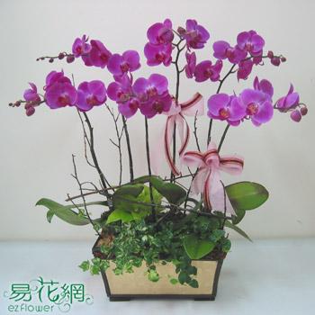 紅花蝴蝶蘭創意組合盆栽