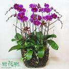 紅花鑲白邊蝴蝶蘭組合盆栽
