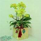 金色豐華蝴蝶蘭組合盆栽