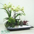 黃花紅心蝴蝶蘭造景盆栽