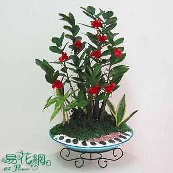 開幕送花-金錢束樹組合盆栽
