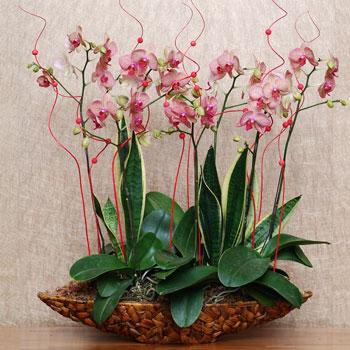 黃花斑紋蝴蝶蘭組合盆栽