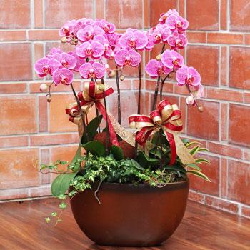 紅花斑紋蝴蝶蘭組合盆栽