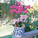 蝴蝶蘭組合盆栽