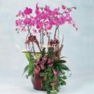 蝴蝶蘭創意組合盆栽